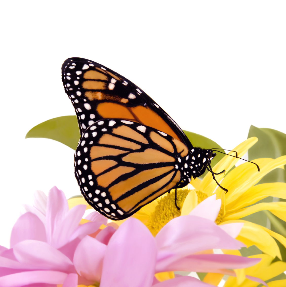 Live Monarch Butterflies by the Dozen