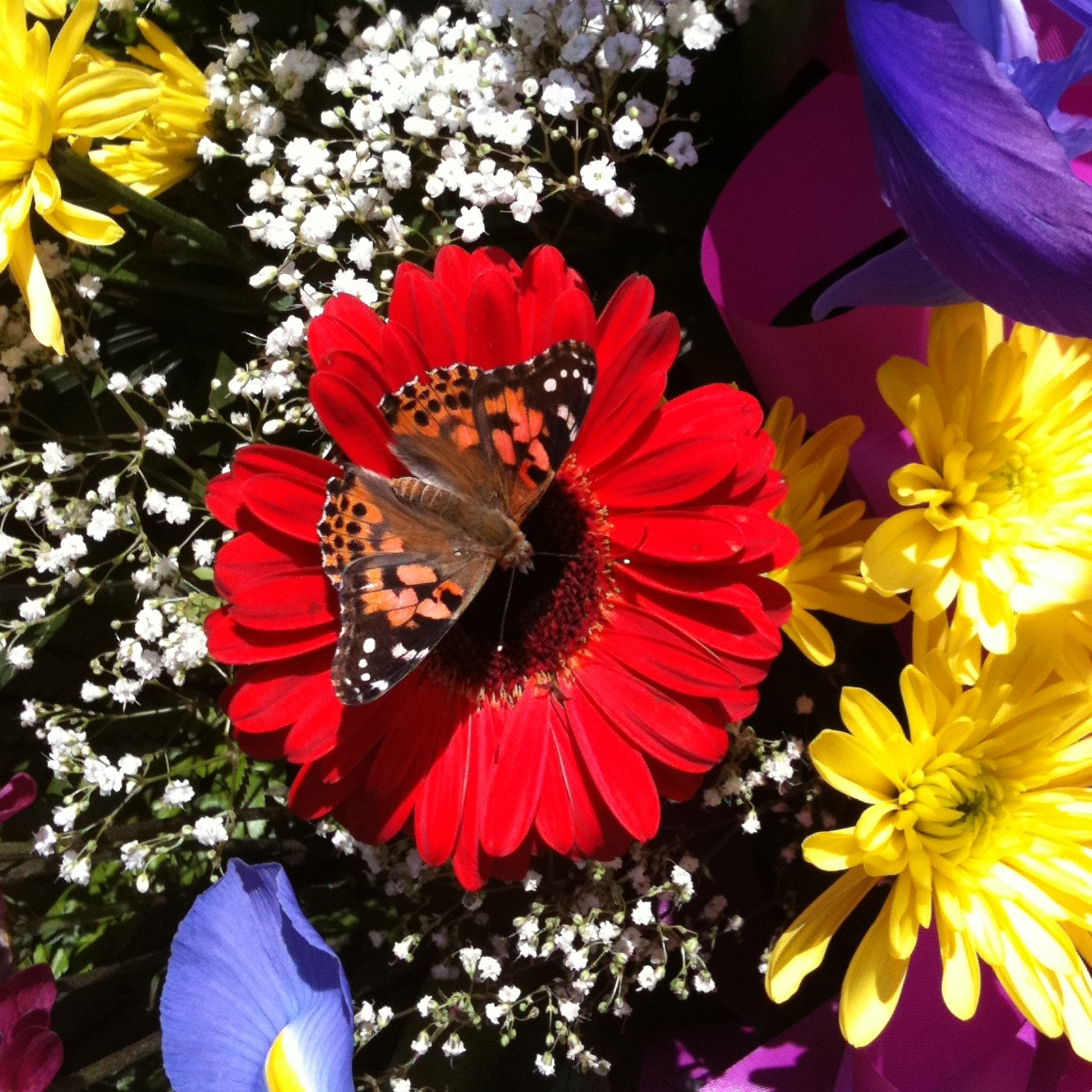 Live Butterfly Package #3 - 60 Painted Lady Butterflies