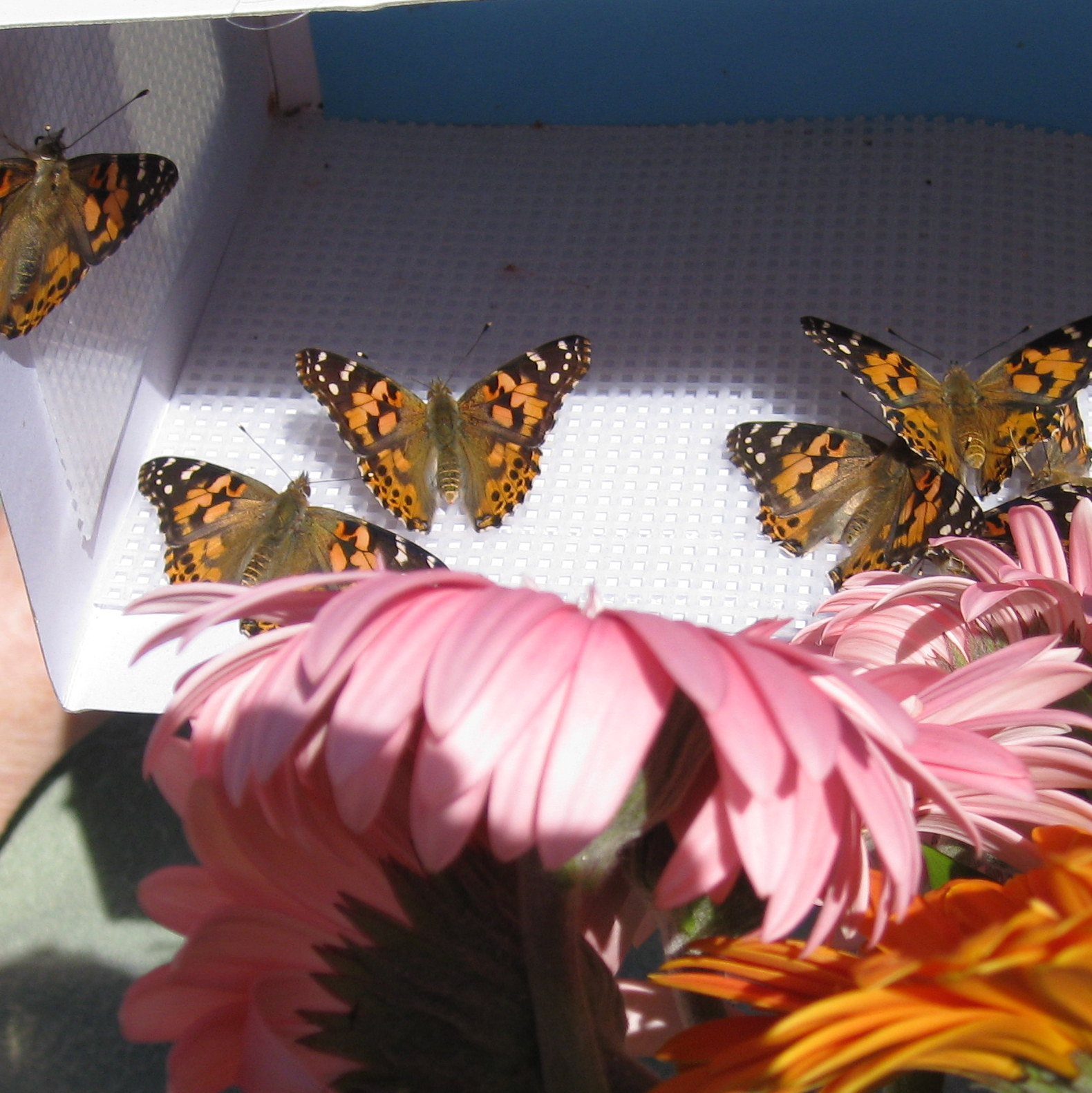 112 Painted Lady Butterflies and 2 Monarch Butterflies