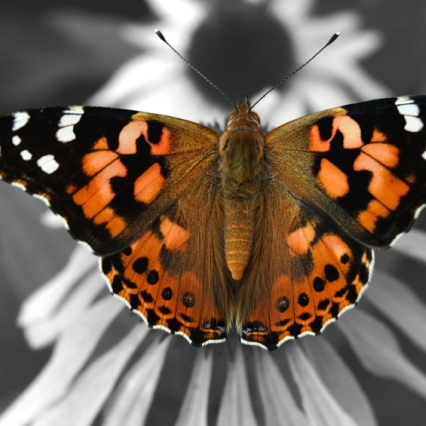 Butterfly Release Package #5 - 200 Painted Lady Butterflies (Plus free Two Dozen)