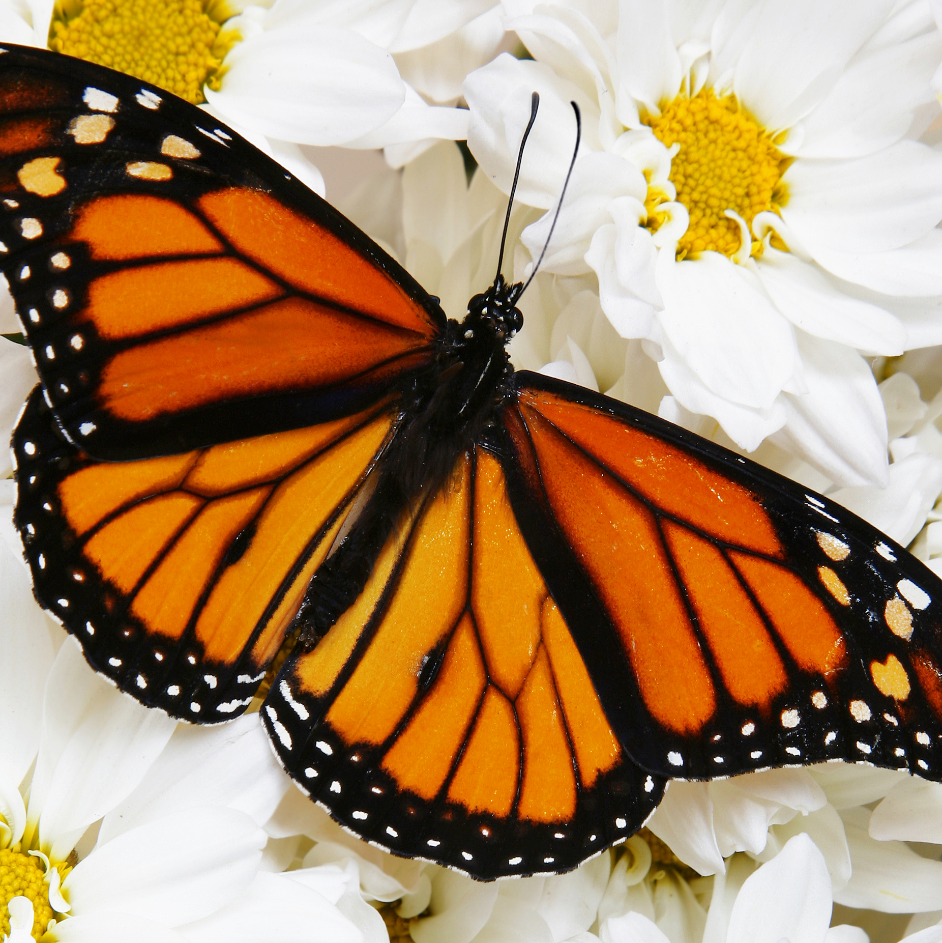 Monarch Butterflies by the Dozen - 12 Monarch Butterflies (choose your individual or mass release)