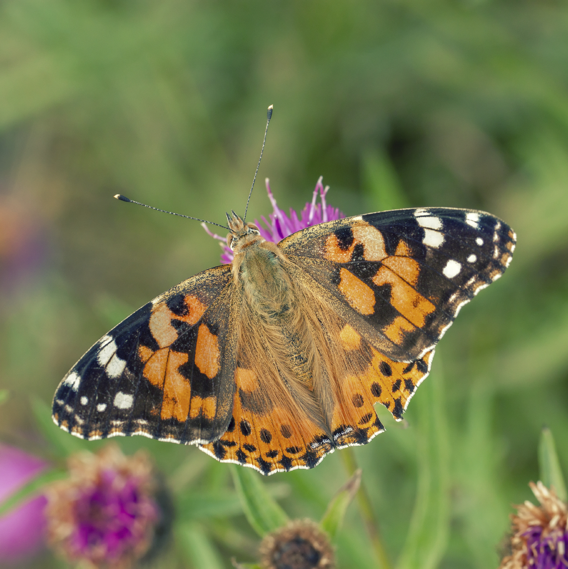 150 Painted Lady Butterflies