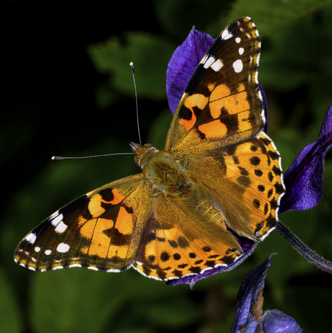 15 Painted Lady Butterflies