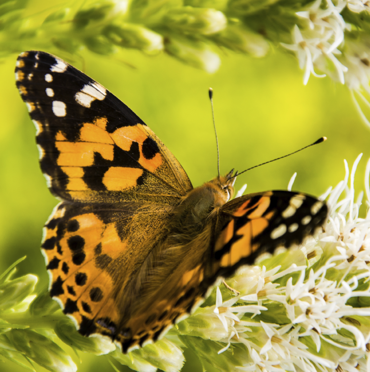 Butterfly Release Package #4 - 100 Painted Lady Butterflies (Plus FREE Dozen)