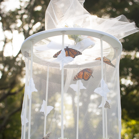 Is Your Caterpillar Cage Killing Monarch Butterflies?