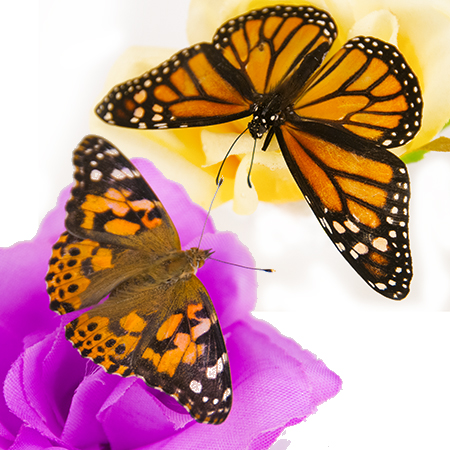 Butterfly Release Package #1 - Mix of 25 Painted Ladies and 5 Monarchs