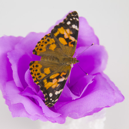 42 Painted lady Butterflies