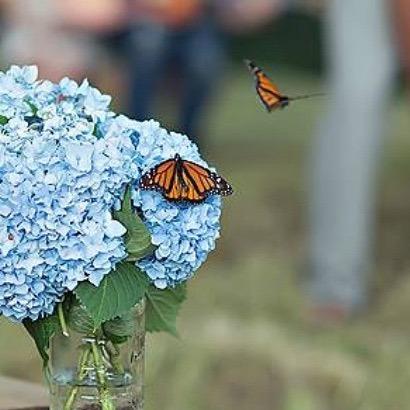 Monarch Memorial Butterflies by the dozen