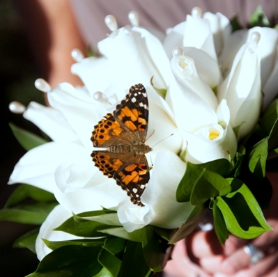 Butterfly Release Package #3 - 60 Painted Lady Butterflies (choose your individual or mass release)