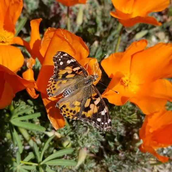 20 Painted Lady Butterflies