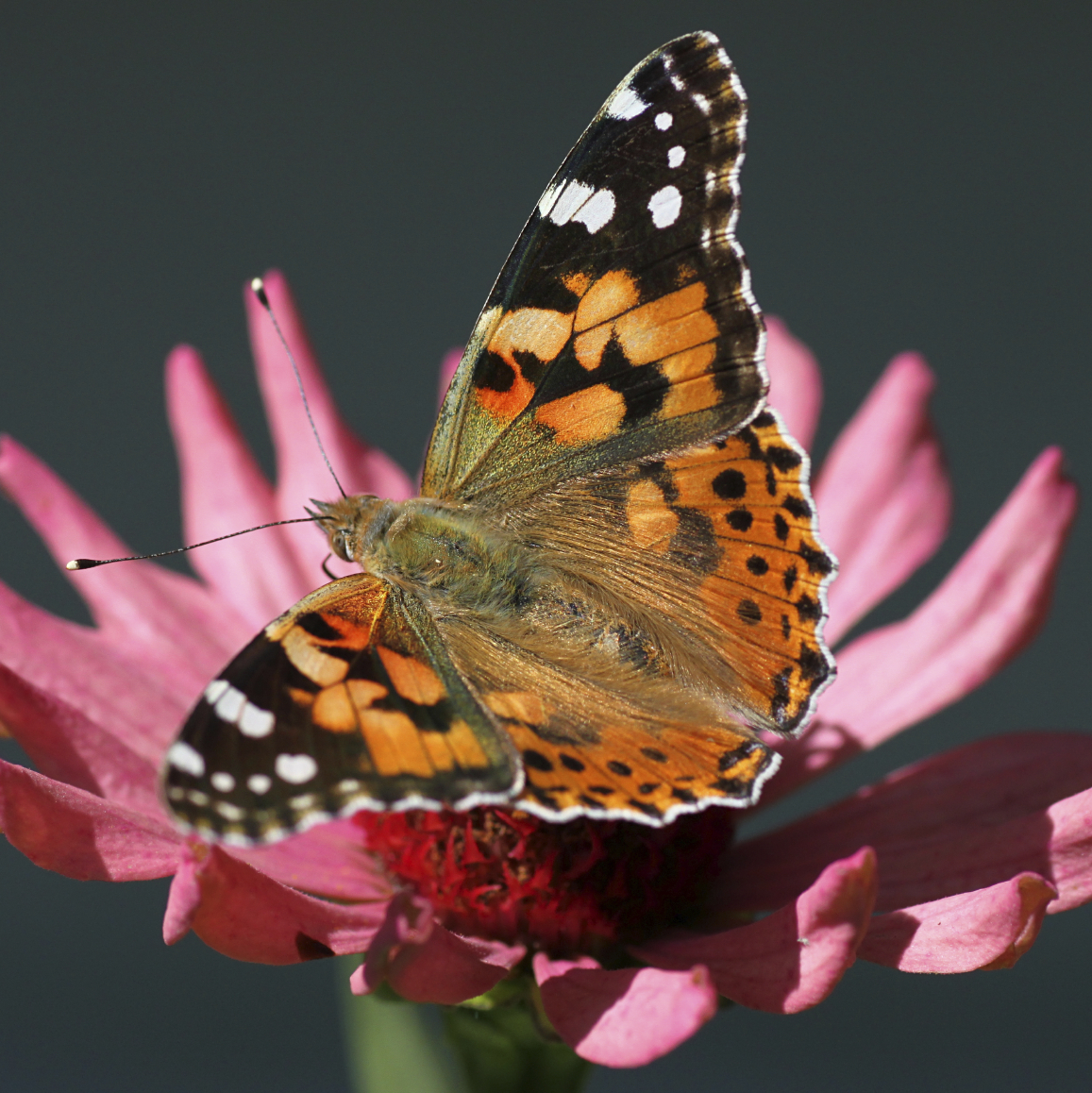 50 Painted Ladies Butterflies