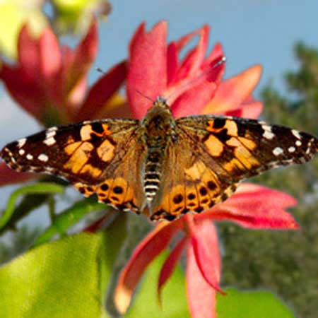 Painted Lady Butterflies by the Dozen
