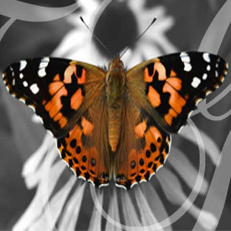 90 Painted Lady Butterflies